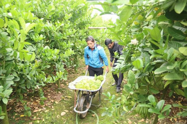 Phật thủ Hà Nội rậm rịch vào vụ Tết, thương lái chi 400 triệu đồng mua cả vườn - Ảnh 6