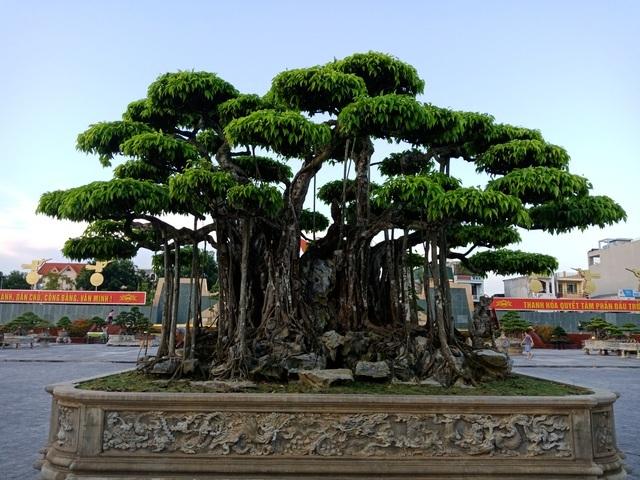 Cây sanh cổ ở Thanh Hóa được khách Nhật định giá hơn 20 triệu USD khiến nhiều người choáng váng - Ảnh 1