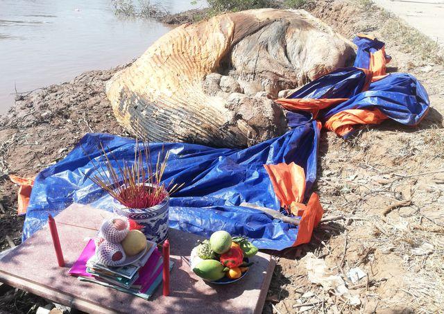 Đi bắt ốc, phát hiện xác cá voi hơn 10 tấn trôi dạt vào vùng biển Bạc Liêu - Ảnh 1