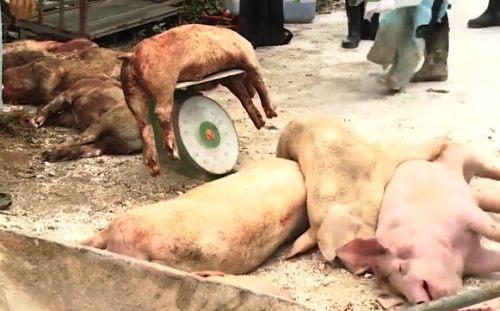 Ðã có 18 địa phương trên cả nước xuất hiện dịch tả lợn châu Phi - Ảnh 1