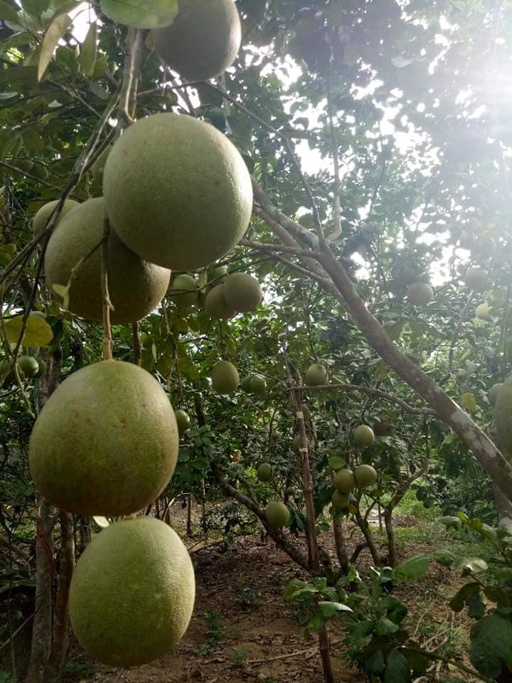 Hương thơm dịu, vị ngọt thanh đặc biệt của quả thanh trà xứ Huế - Ảnh 5