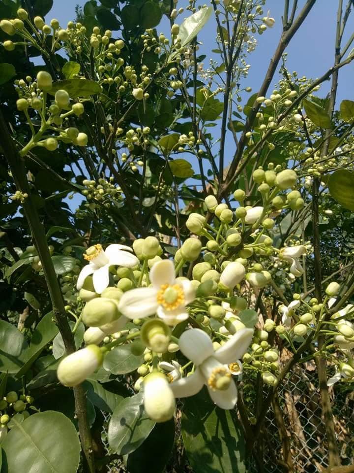 Hương thơm dịu, vị ngọt thanh đặc biệt của quả thanh trà xứ Huế - Ảnh 3