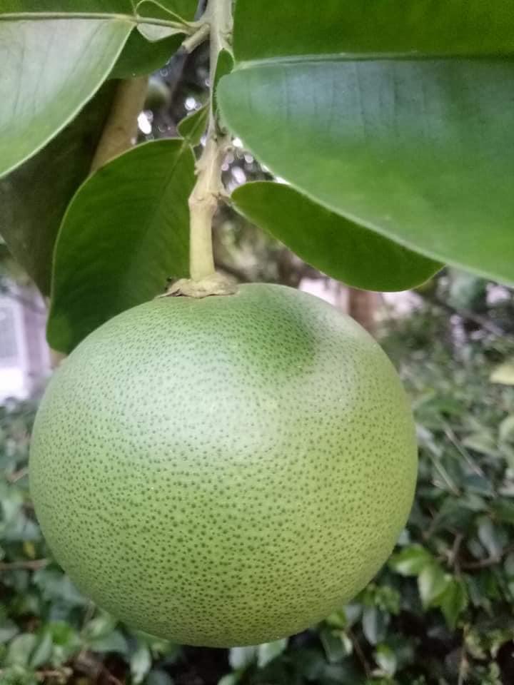 Hương thơm dịu, vị ngọt thanh đặc biệt của quả thanh trà xứ Huế - Ảnh 4