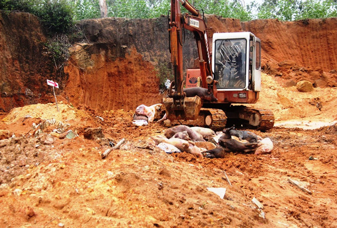 Vụ người dân phải đóng phí tiêu hủy lợn dịch tả ở Quảng Nam: UBND đang trả lại tiền - Ảnh 1