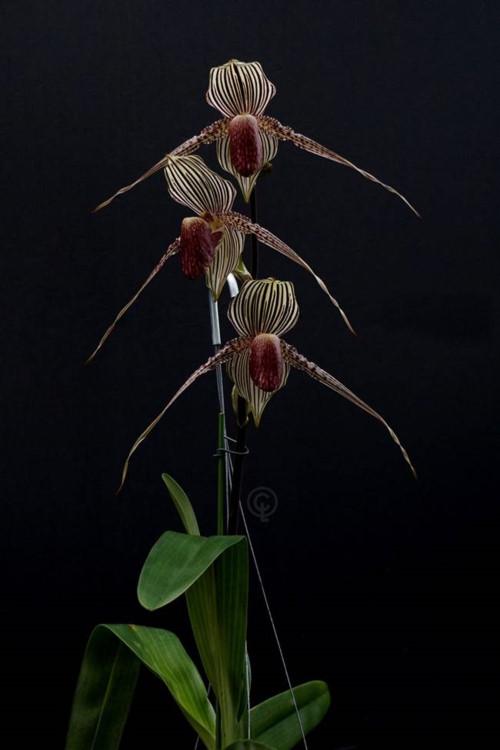 Loài hoa lan kì lạ 15 năm mới nở một lần, đại gia muốn mua cũng khó - Ảnh 2