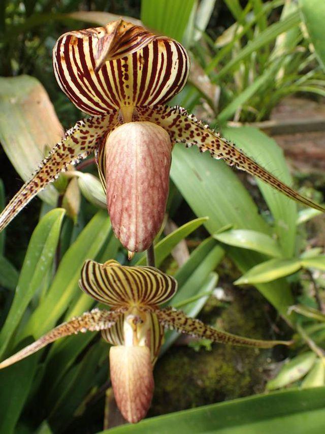 Loài hoa lan kì lạ 15 năm mới nở một lần, đại gia muốn mua cũng khó - Ảnh 5