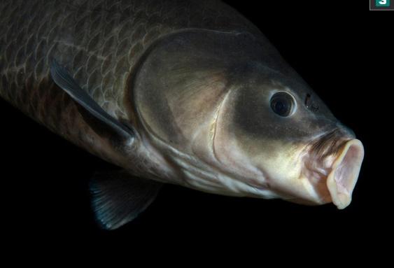 Phát hiện cá trâu 112 tuổi, sinh ra từ trước thời điểm thế chiến I bùng nổ - Ảnh 1
