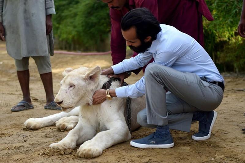 Chán khoe biệt thự, siêu xe, đại gia Pakistan nuôi sư tử như thú cưng sang chảnh - Ảnh 1
