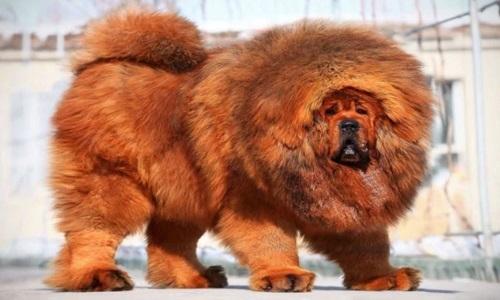 Cận cảnh loài lai giữa ngao Tây Tạng và sói núi - Ảnh 1