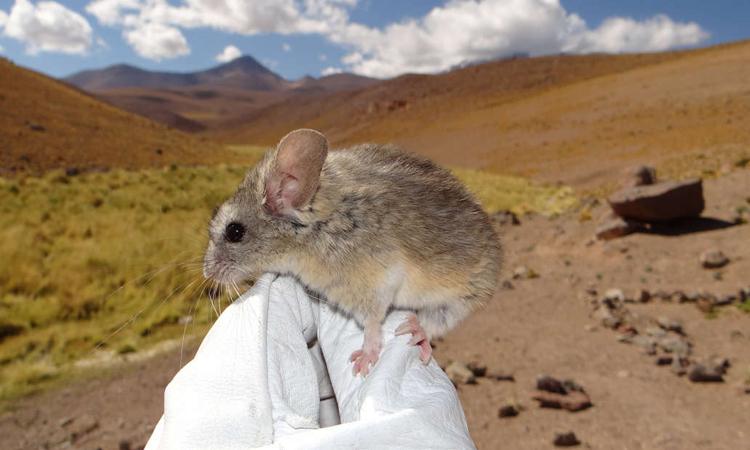 Loài chuột bí ẩn trên đỉnh núi lửa khiến giới khoa học đau đầu vì không biết chúng ăn gì để sống - Ảnh 1