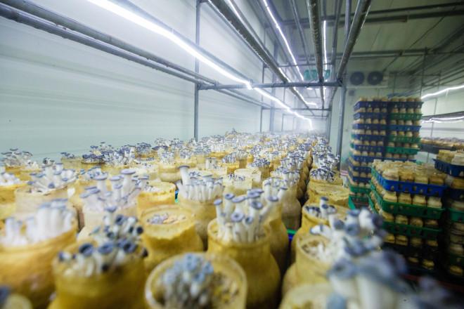Làm nấm, ấm thân - anh nông dân thu về 35 tỷ đồng/năm - Ảnh 2