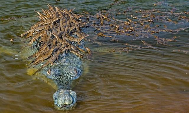 Khoảnh khắc tuyệt đẹp: Đàn cá sấu con bám chi chít trên lưng cha để cùng vượt sông - Ảnh 1