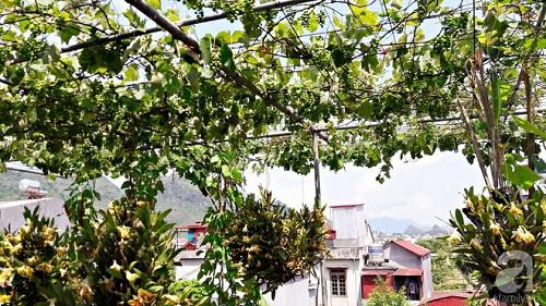 Giàn nho hàng trăm chùm trên sân thượng của ông bố 8x ở Lai Châu - Ảnh 12