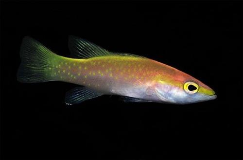 """Những loài cá có giá tiền tỷ khiến không ít người phải """"ngã ngửa"""" - Ảnh 5"""