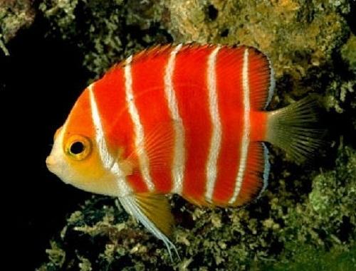 """Những loài cá có giá tiền tỷ khiến không ít người phải """"ngã ngửa"""" - Ảnh 3"""