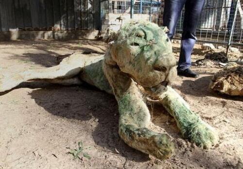 Vườn thú tàn khốc bỏ đói các con thú 90 ngày, chúa sơn lâm cũng biến thành xác khô - Ảnh 3