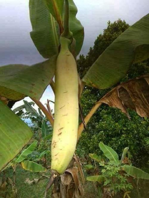 Sự thật về cây chuối lạ ra quả khổng lồ dài gần 1m gây xôn xao - Ảnh 2