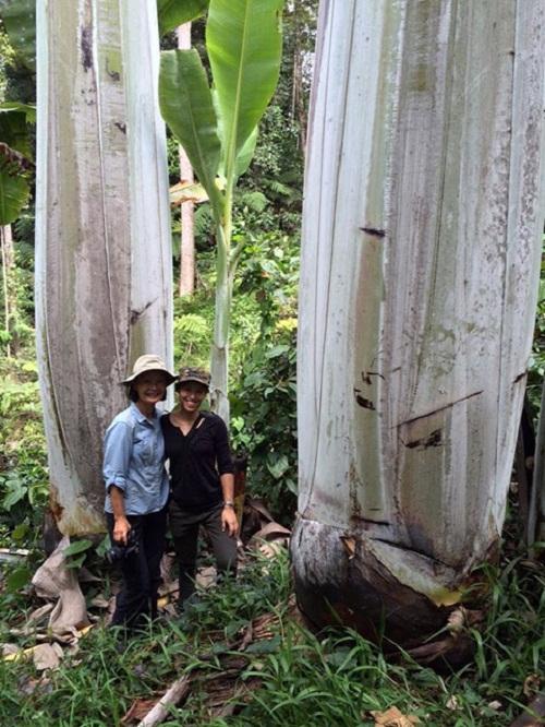 Sự thật về cây chuối lạ ra quả khổng lồ dài gần 1m gây xôn xao - Ảnh 3