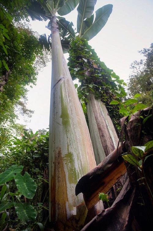 Sự thật về cây chuối lạ ra quả khổng lồ dài gần 1m gây xôn xao - Ảnh 4