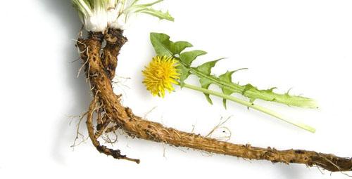 Loại cây dễ kiếm ở Việt Nam giúp dưỡng gan, giải độc, giã rượu - Ảnh 2