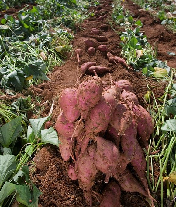 Giá cao tới 400 nghìn đồng/kg,khoai lang Hàn Quốc vẫn được chị em săn đón - Ảnh 1