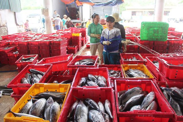 Cá ngừ đại dương mất mùa ngư dân thu lỗ trầm trọng  - Ảnh 1