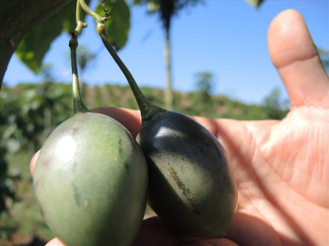 1 triệu đồng/kg cà chua thân gỗ được trồng nhiều ở Lâm Đồng - Ảnh 2