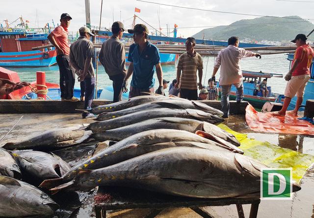 Đầu năm ngư dân Khánh Hoà trúng đậm cá ngừ đại dương - Ảnh 1