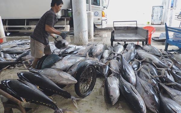 Đầu năm ngư dân Khánh Hoà trúng đậm cá ngừ đại dương - Ảnh 2