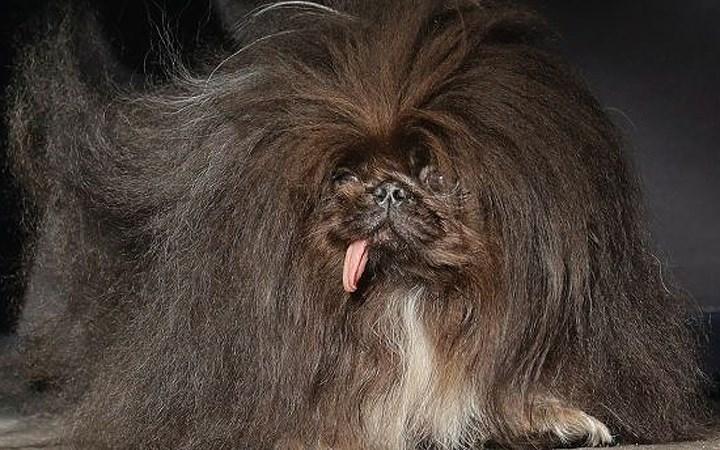 """Cận cảnh """"dung nhan"""" ứng viên cuộc thi chú chó xấu nhất thế giới năm 2018 - Ảnh 5"""
