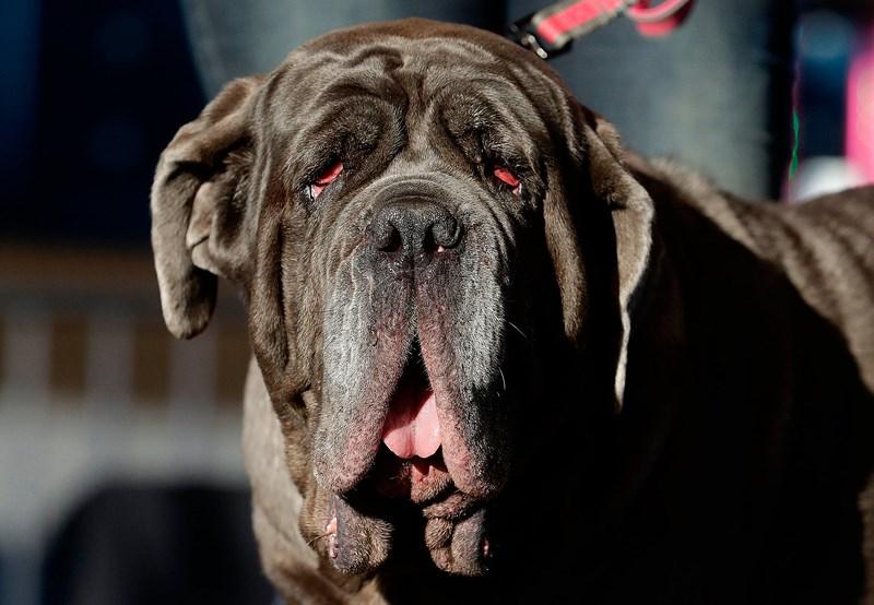 """Cận cảnh """"dung nhan"""" ứng viên cuộc thi chú chó xấu nhất thế giới năm 2018 - Ảnh 2"""