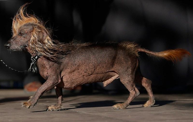 """Cận cảnh """"dung nhan"""" ứng viên cuộc thi chú chó xấu nhất thế giới năm 2018 - Ảnh 3"""