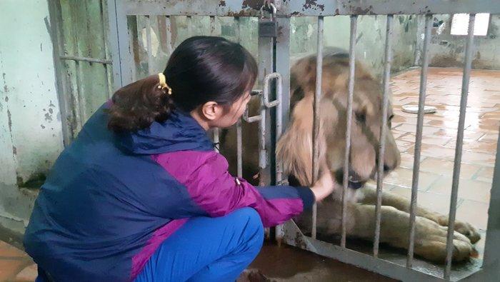 Nuôi mãnh thú giữa lòng Hà Nội: Người phụ nữ hàng ngày chải bờm, bắt rận, chơi với sư tử nặng gần 200kg - Ảnh 1