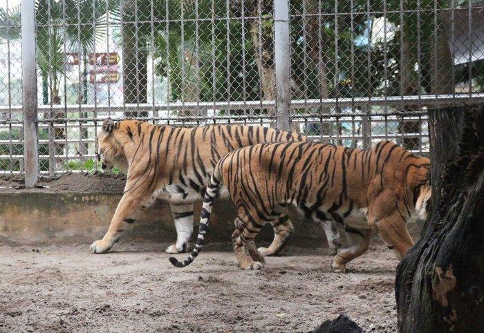 Nuôi mãnh thú giữa lòng Hà Nội: Người phụ nữ hàng ngày chải bờm, bắt rận, chơi với sư tử nặng gần 200kg - Ảnh 2