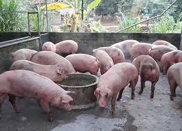 Tin tức kinh doanh mới nóng nhất hôm nay 29/5/2019: Đồng USD tăng nhanh, giá lợn tiếp tục đi xuống - Ảnh 2