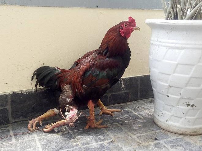 Cận cảnh gà con 4 chân gây xôn xao ở Nghệ An  - Ảnh 2
