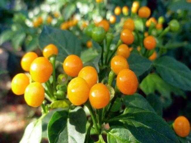 Giới nhà giàu mạnh tay mua loại quả dại có giá hơn nửa tỷ mỗi kg - Ảnh 2