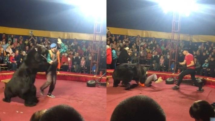 Kinh hoàng cảnh gấu xiếc tấn công người huấn luyện thú trong lúc biểu diễn - Ảnh 1
