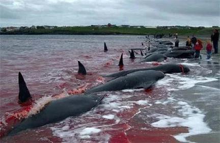 Nhật Bản: Hé lộ sự thật cảnh tàn sát cá heo khủng khiếp đang bị lên án mạnh mẽ - Ảnh 3