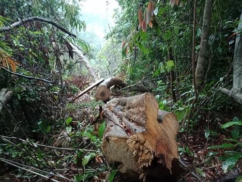 Đình chỉ công tác 6 cán bộ kiểm lâm liên quan vụ phá rừng ở Quảng Nam - Ảnh 2