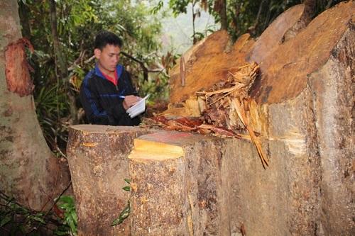 Đình chỉ công tác 6 cán bộ kiểm lâm liên quan vụ phá rừng ở Quảng Nam - Ảnh 1