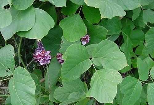 10 loại cây giải độc ai cũng nên thuộc nằm lòng phòng trường hợp nguy cấp trong gia đình - Ảnh 2