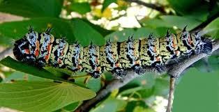 """Sâu bướm – món ăn khoái khẩu ở châu Phi sẽ khiến bạn """"khóc thét"""" - Ảnh 1"""