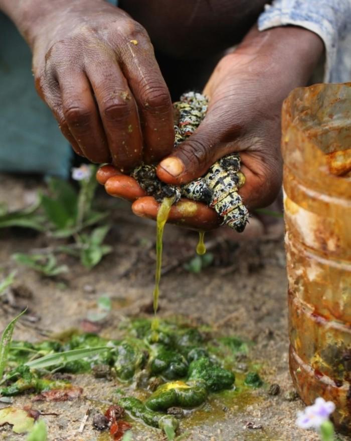 """Sâu bướm – món ăn khoái khẩu ở châu Phi sẽ khiến bạn """"khóc thét"""" - Ảnh 3"""