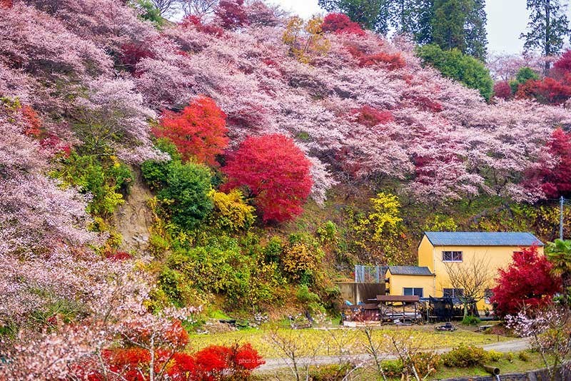 Lý thú ngắm hoa anh đào nghịch mùa ở Obara giữa thu Nhật Bản - Ảnh 2