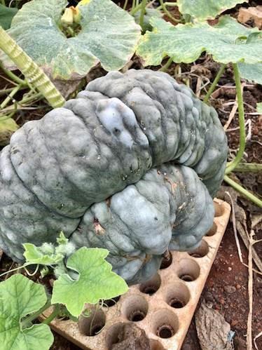 Phát cuồng với bí ngô Halloween khổng lồ lần đầu được trồng ngay tại Việt Nam - Ảnh 8