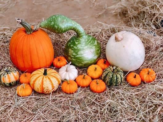 Phát cuồng với bí ngô Halloween khổng lồ lần đầu được trồng ngay tại Việt Nam - Ảnh 6