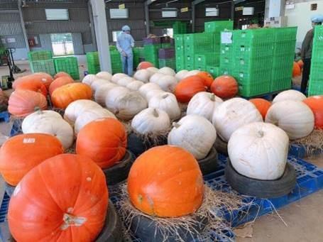 Phát cuồng với bí ngô Halloween khổng lồ lần đầu được trồng ngay tại Việt Nam - Ảnh 7