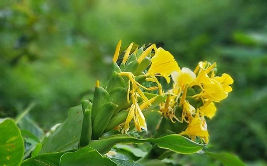 Chữa bệnh đại tràng bằng cây Ngải Tiên - Ảnh 1