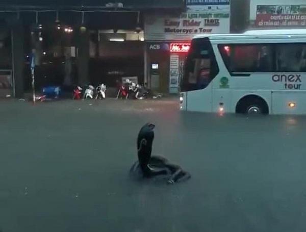 """""""Rắn hổ mang bành"""" bất ngờ xuất hiện trên phố Nha Trang khiến nhiều người kinh hãi - Ảnh 2"""